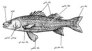دانلود تحقیق ماهی های استخوانی